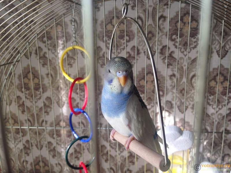 Определение пола и возраста попугаев № 10 - IMG_6315.JPG