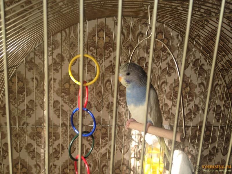 Определение пола и возраста попугаев № 10 - IMG_6310.JPG