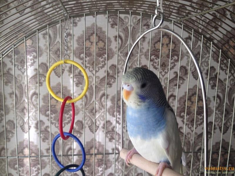Определение пола и возраста попугаев № 10 - IMG_6306.JPG