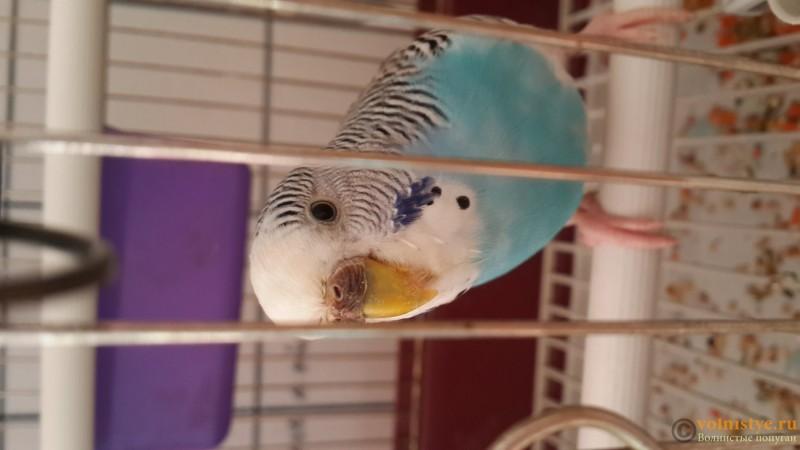 Кормление волнистых попугайчиков в домашних условиях