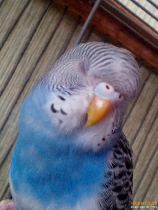 У попугая вокруг клюва нет перьев - IMG_20160707_155916.jpg