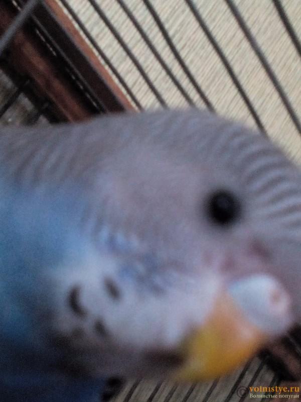 У попугая вокруг клюва нет перьев - IMG_20160707_155747.jpg