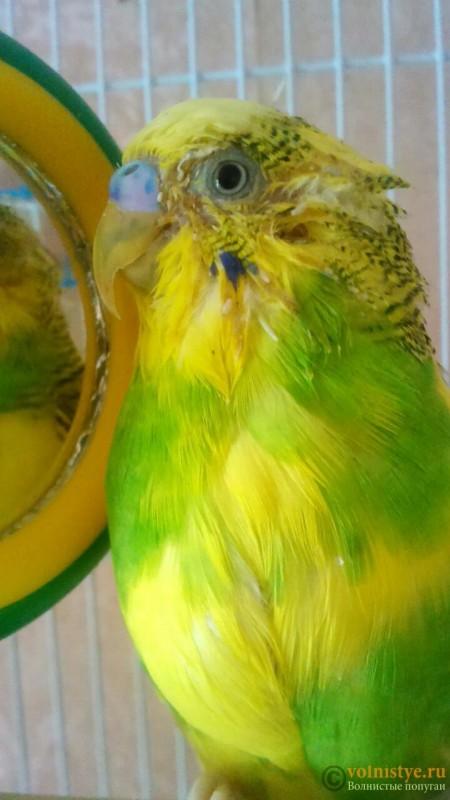мокрая грудка у попугая - 2.jpg