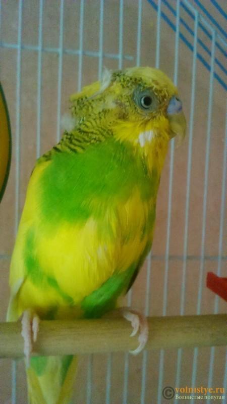 мокрая грудка у попугая - 3.jpg