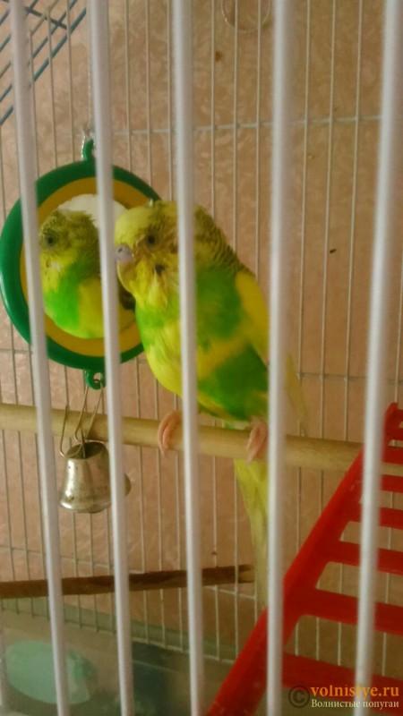 мокрая грудка у попугая - 4.jpg