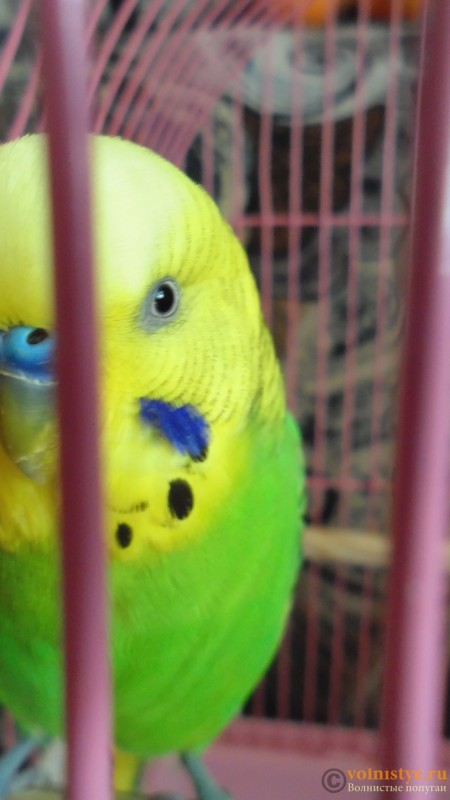 Попугай чихает - DSC01764.JPG