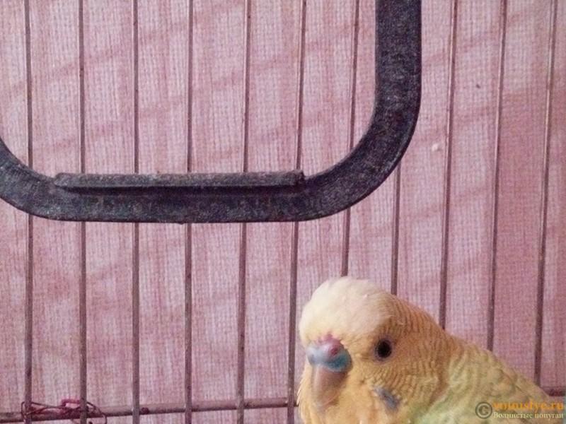 Гиперкератоз у попугая - IMG_20160815_205238.jpg