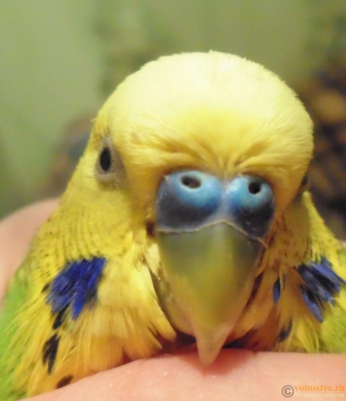 Попугай чихает - DSC01968.jpg