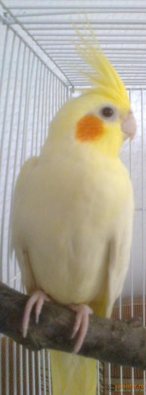 Определение пола и возраста попугаев корелла - psatkha_3.jpg