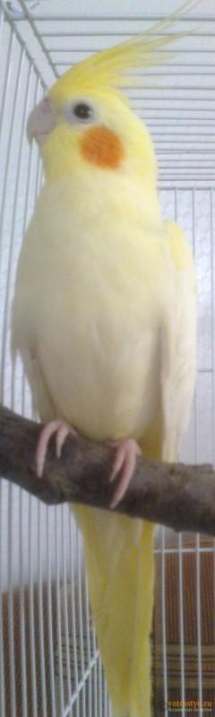 Определение пола и возраста попугаев корелла - psatkha_4.jpg
