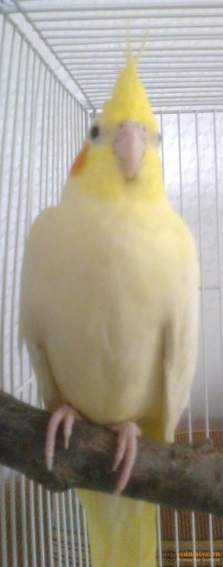 Определение пола и возраста попугаев корелла - psatkha_5.jpg