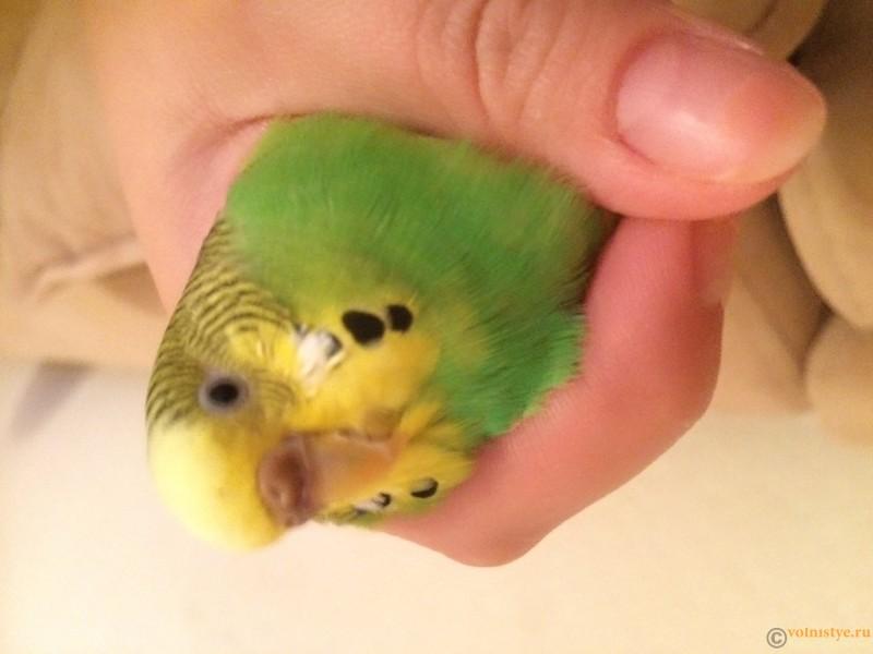 Определение пола попугая - image.jpeg