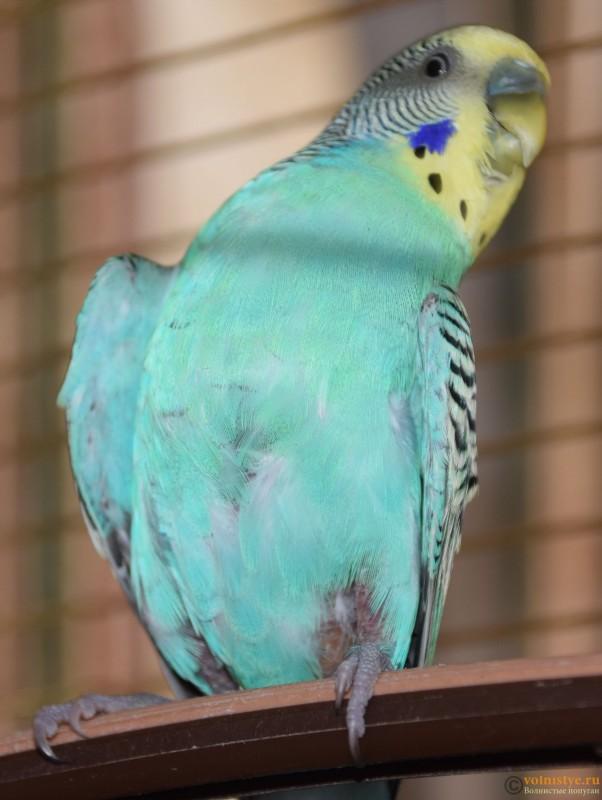 Как понять что попугай умирает волнистый