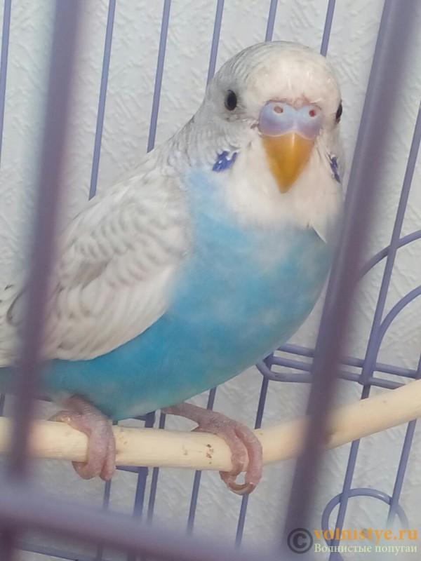 Восковица у волнистого попугая фото