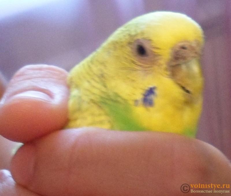 Как лечить облысение у попугаев 190