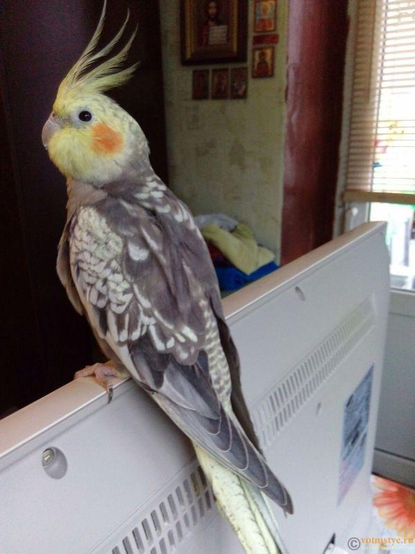 Определение пола и возраста попугаев корелла - 1478340990623.jpg
