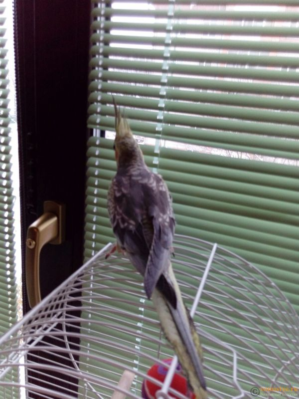 Определение пола и возраста попугаев корелла - 1478340908324.jpg