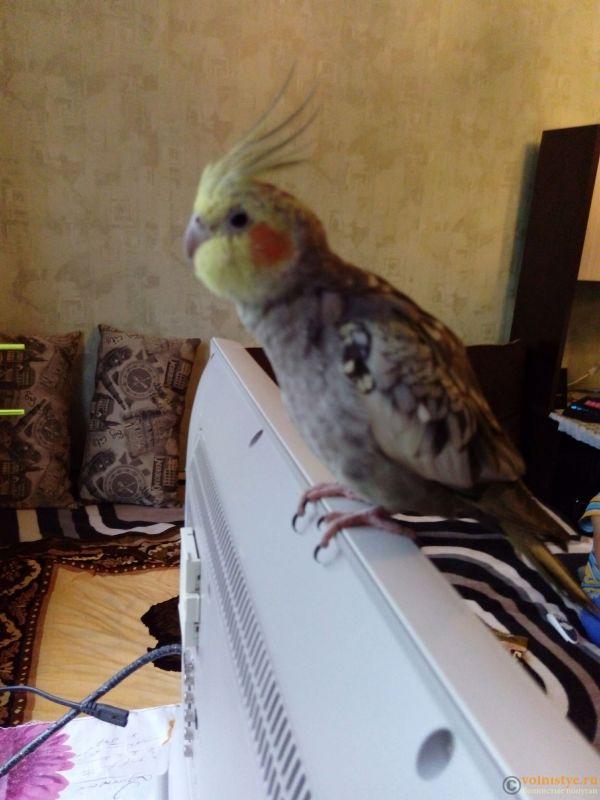 Определение пола и возраста попугаев корелла - 1478341122779.jpg