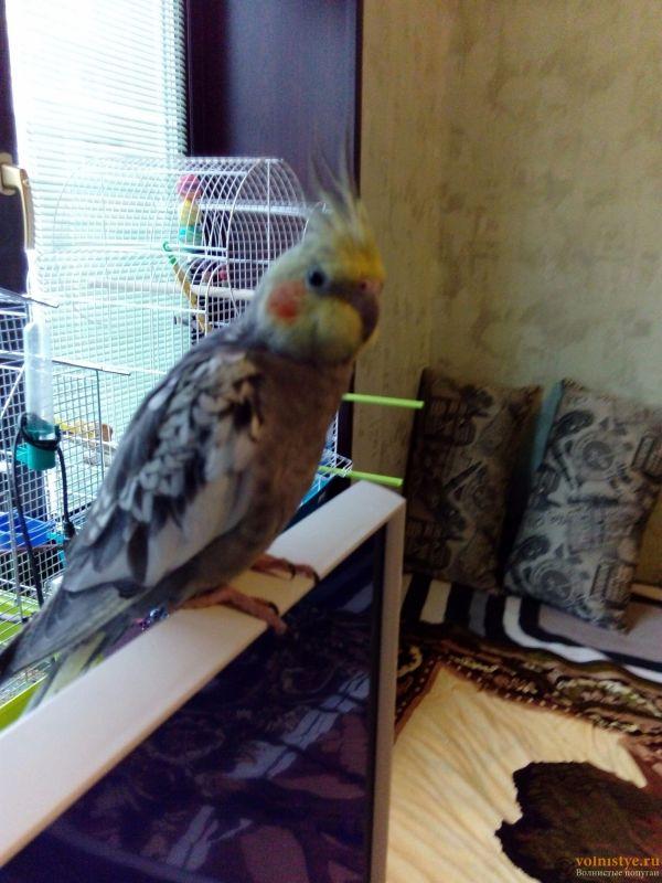 Определение пола и возраста попугаев корелла - 1478341023119.jpg