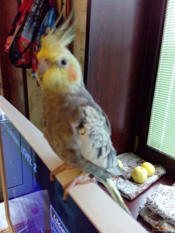 Определение пола и возраста попугаев корелла - 1478340979147.jpg