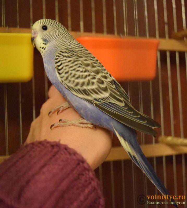 Продаю птенцов волнистого попугая (от Джека и Эльзы) - 6.JPG