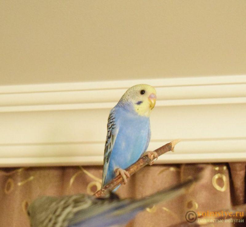 Продаю птенцов волнистого попугая (от Джека и Эльзы) - 4мал.jpg