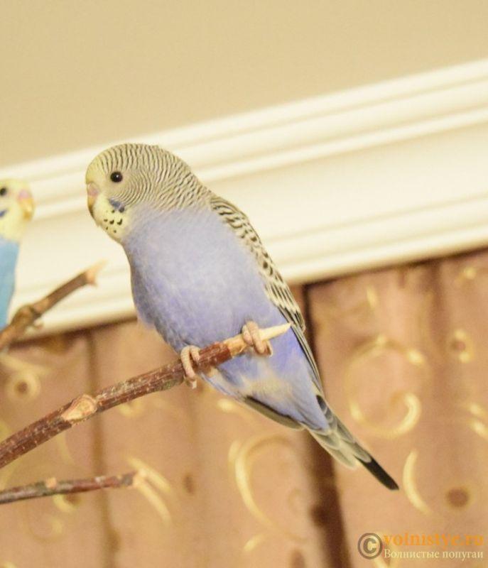 Продаю птенцов волнистого попугая (от Джека и Эльзы) - 6.1.jpg