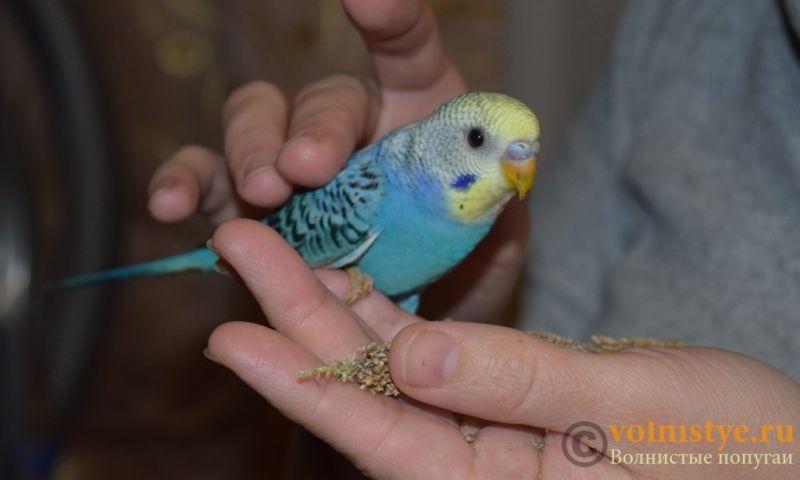 Продаю птенцов волнистого попугая (от Джека и Эльзы) - 5.jpg