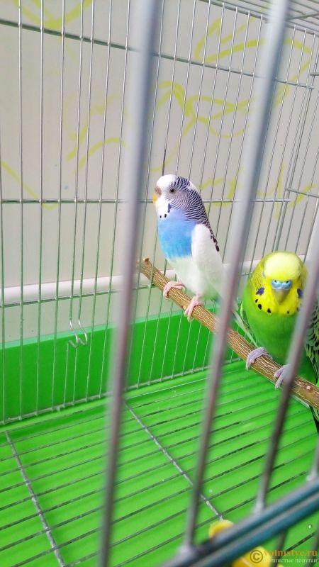 Окрасы волнистых попугаев - P_20160911_162503.jpg