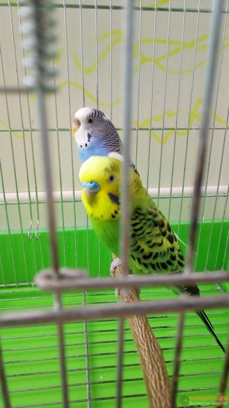 Окрасы волнистых попугаев - P_20160911_162306.jpg
