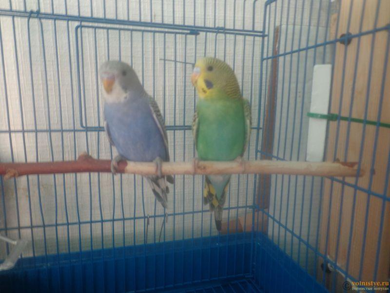 Окрасы волнистых попугаев - DSC00002 (4).JPG