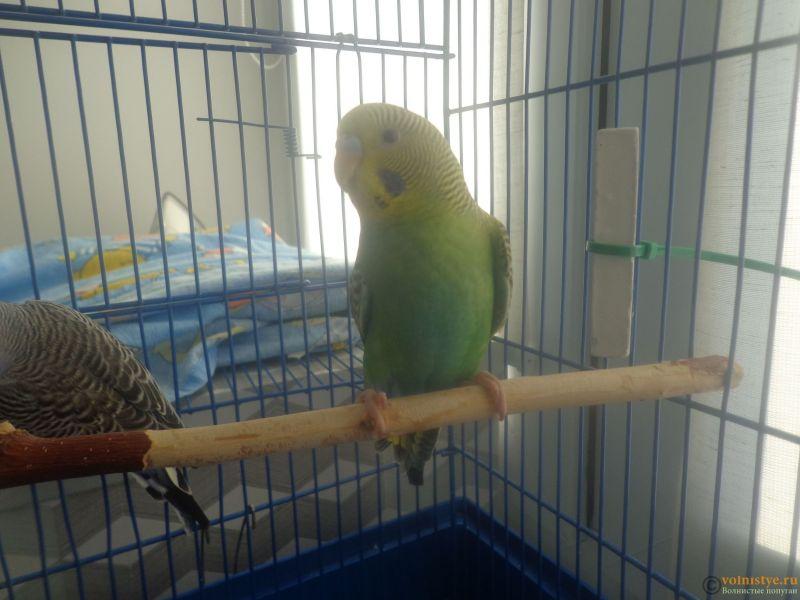 Окрасы волнистых попугаев - DSC00004 (3).JPG