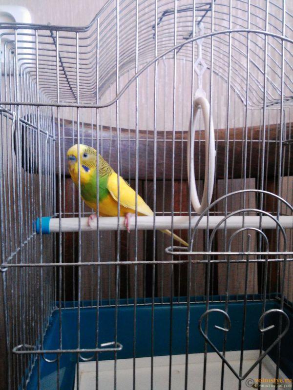 Окрасы волнистых попугаев - IMG_20161118_142947843.jpg