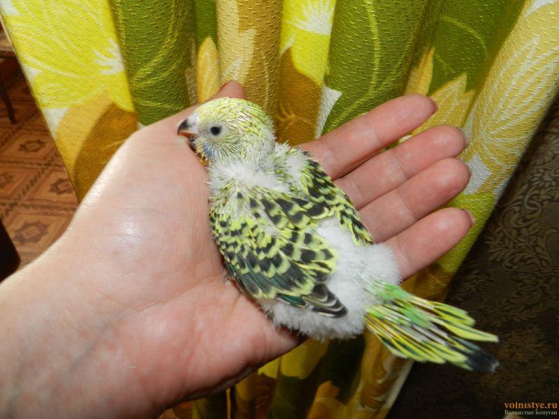 Окрасы волнистых попугаев - DSCN0608[1].JPG