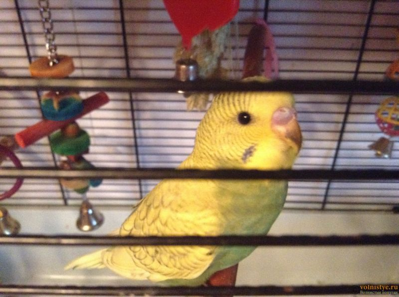 Определение пола и возраста попугаев № 11 - image.jpeg