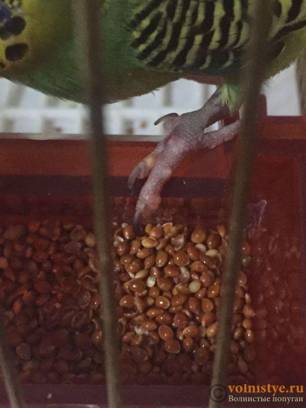 белые волдыри-наросты на лапках волнистого попугая - WechatIMG13.jpeg