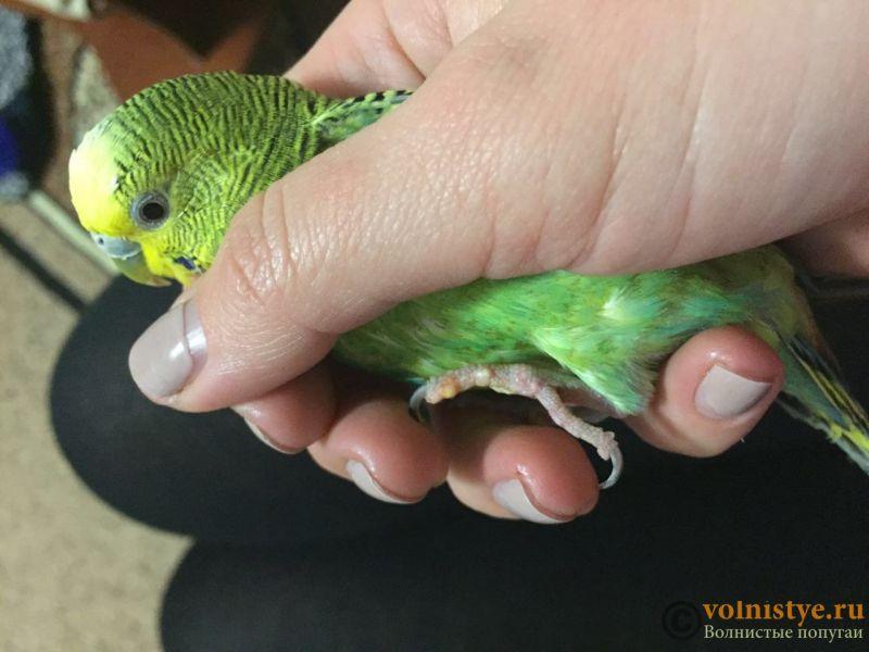 белые волдыри-наросты на лапках волнистого попугая - WechatIMG17.jpeg