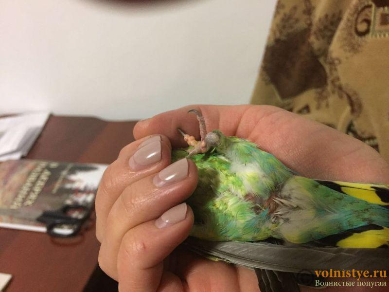 белые волдыри-наросты на лапках волнистого попугая - WechatIMG18.jpeg