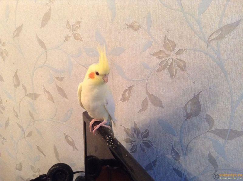 Определение пола и возраста попугаев корелла - image.jpeg