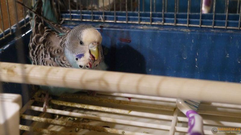 Попугай лежит и кашляет кровью - P1040430.JPG