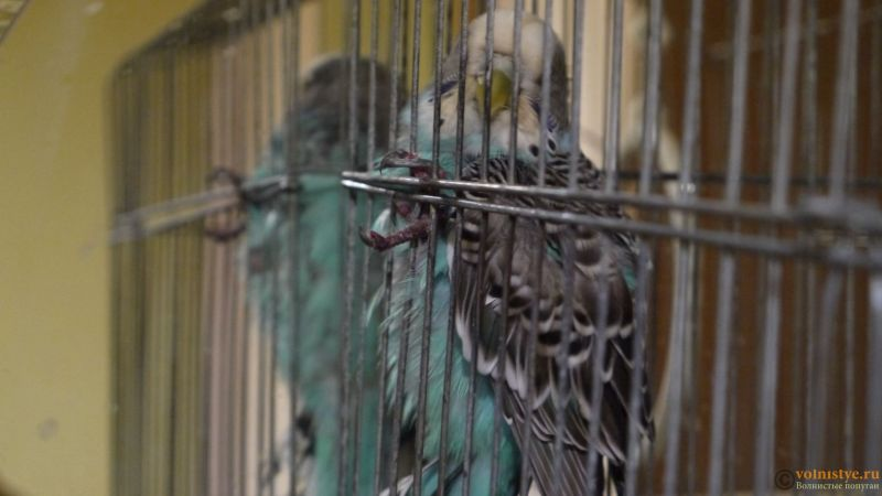 Попугай лежит и кашляет кровью - P1040440.JPG