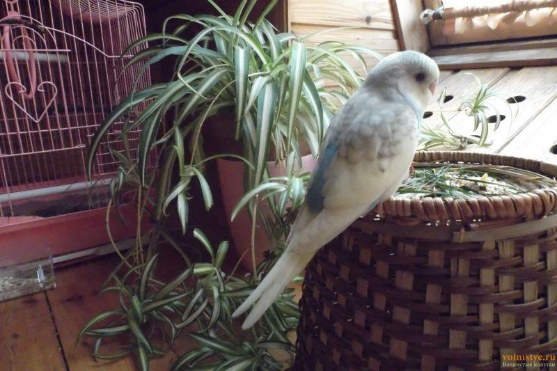 Окрасы волнистых попугаев - DSCF3795.JPG