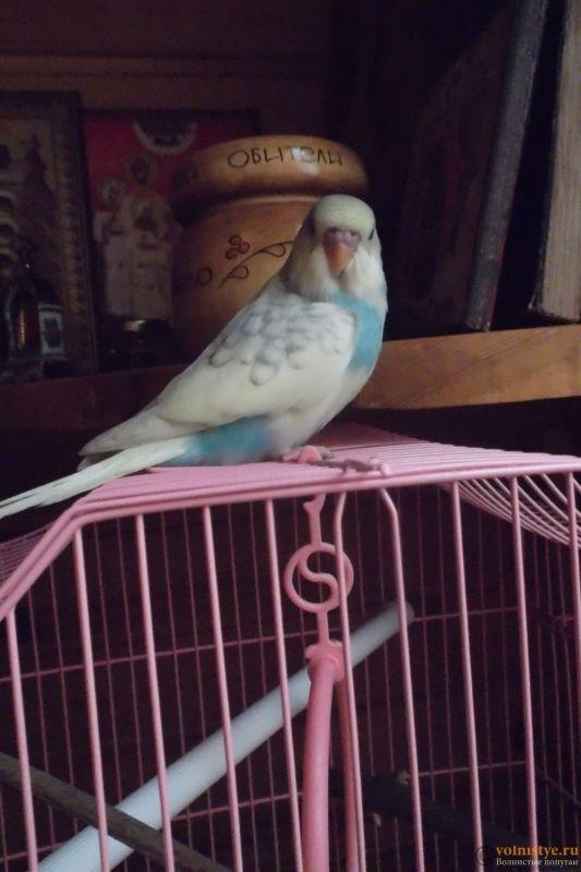 Окрасы волнистых попугаев - DSCF3807.JPG