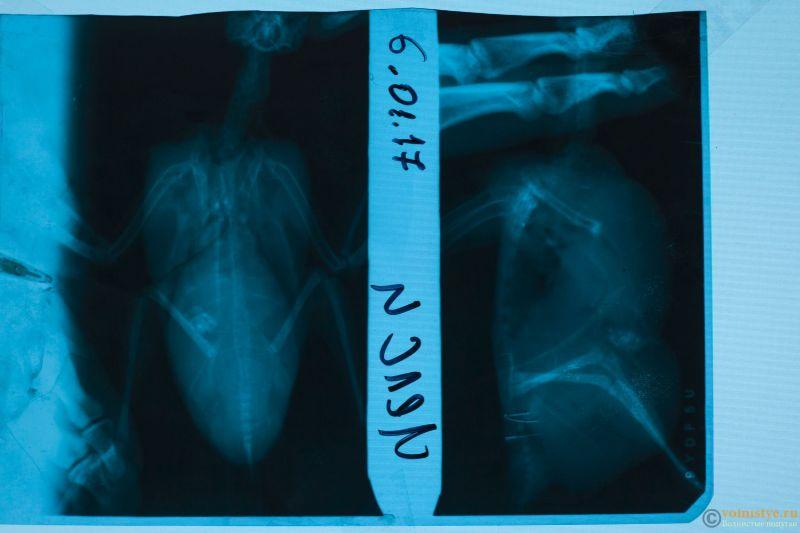 рентген кореллы - Chelsea Ro-1.jpg