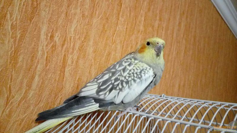 Определение пола и возраста попугаев корелла - 20170109_190740.jpg