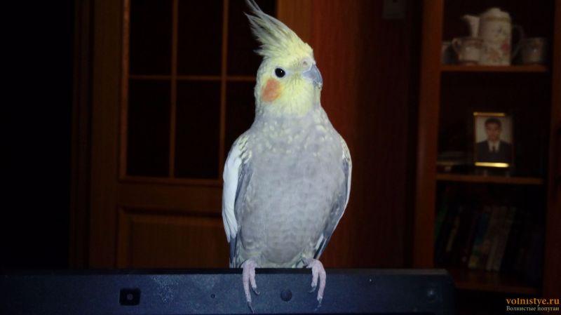 Определение пола и возраста попугаев корелла - 20170109_191939.jpg