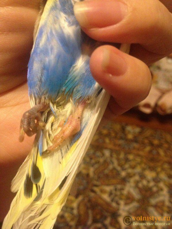 Отказали лапки у волнистого попугая - svtq8VTfU_8.jpg