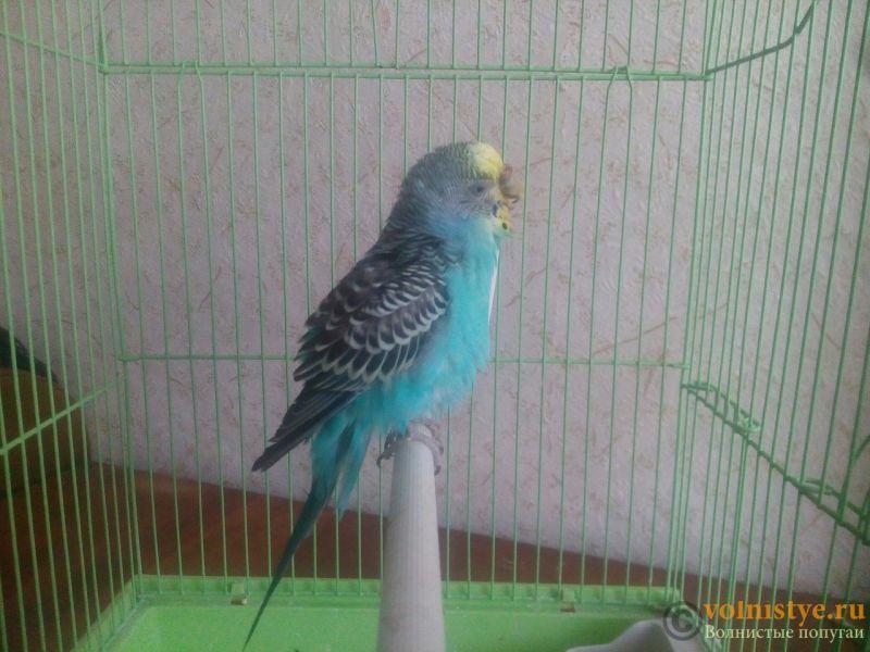 нужна очень консультация орнитолога, заболел попугай. - uIEbIBZWAwk.jpg