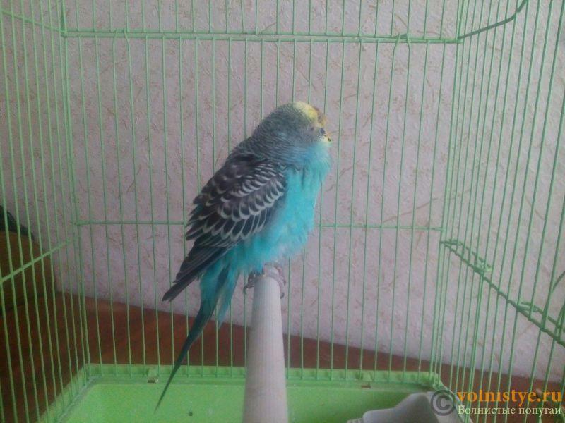 нужна очень консультация орнитолога, заболел попугай. - _KZS8cOqPuc.jpg