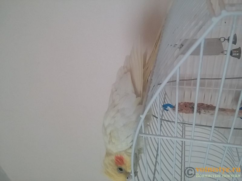 нужна очень консультация орнитолога, заболел попугай. - 20170113_110631.jpg